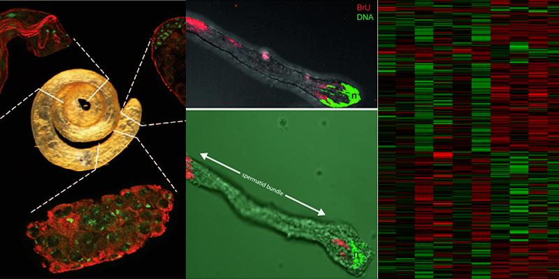 Gene expression / Gametogeneses